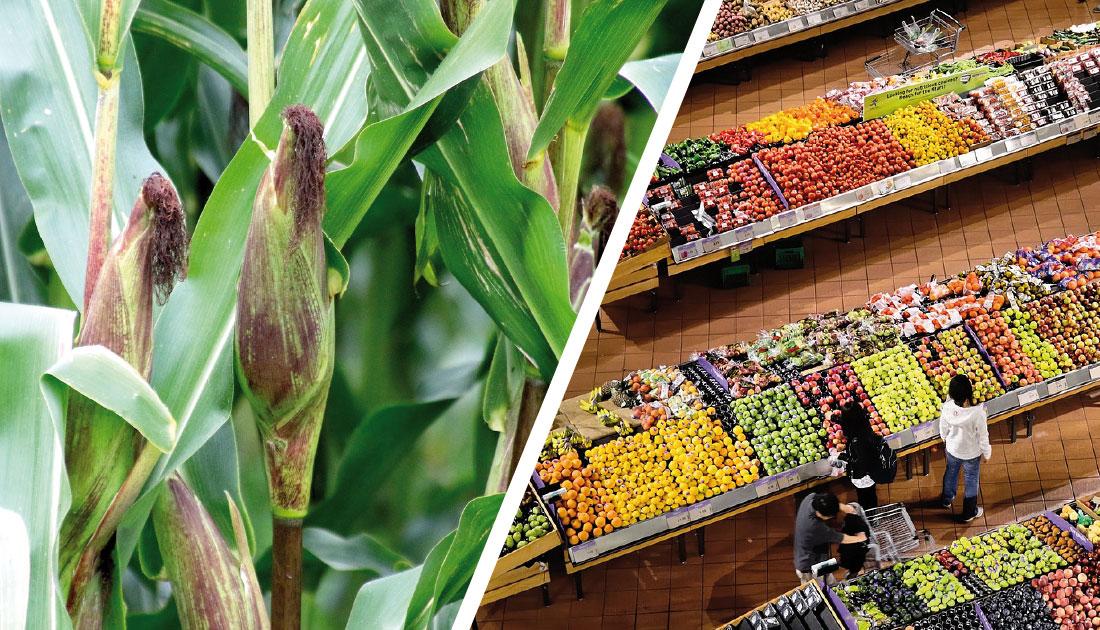 Maiskolben vom Feld oder aus dem Supermarkt?